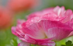 Картинка цветок, макро, розовый, лепестки, анемон
