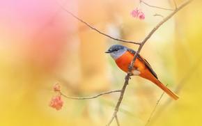 Картинка фон, птица, ветка, сакура, Серогорлый длиннохвостый личинкоед
