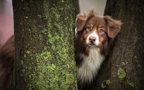 Картинка собака, деревья, аусси, стволы
