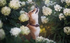 Картинка листья, цветы, ветки, природа, животное, собака, профиль, ошейник, кусты, пёс, сиба-ину