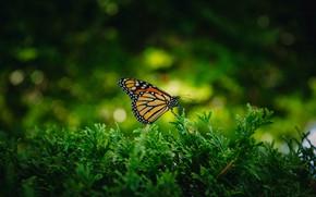 Картинка макро, ветки, природа, темный фон, бабочка, насекомое, хвоя, боке