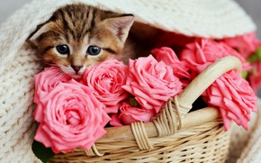Картинка розы, малыш, розовые, корзинка
