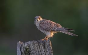 Картинка птица, пень, хищник, самка, пустельга