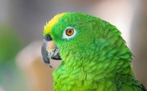 Картинка перья, фон, клюв, попугай, зелёный, амазон, боке, Amazona ochrocephala nattereri, птица, крупный план