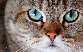 Картинка кошка, глаза, кот, взгляд, морда, крупный план, серый, портрет, полосатый, зеленые глаза, британский, котэ, британец, …
