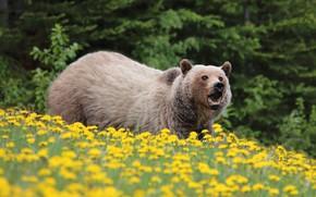 Картинка лес, взгляд, деревья, цветы, поза, поляна, медведь, мишка, пасть, одуванчики, бурый