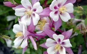 Картинка цветы, розовые, Аквилегия, водосбор