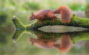 Картинка поза, отражение, мох, ветка, белка, зверек, рыжая, бревно, сук, белочка, грызун, симметрия, зеркальное