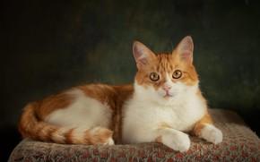 Картинка кошка, кот, взгляд, поза, темный фон, котенок, рыжий, мордочка, лежит, лежанка, фотостудия
