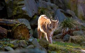 Картинка кошка, взгляд, поза, камни, прогулка, рысь, дикая, брёвна