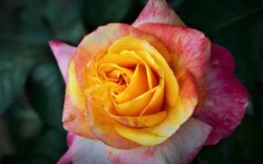 Картинка макро, роза, лепестки, бутон, яркая