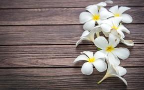 Картинка цветы, white, wood, flowers, плюмерия, plumeria