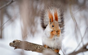 Картинка зима, белки, фотоохота, фото белок, фотограф Александр Мясников