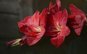 Картинка цветы, красный, гладиолус, гладиолусы