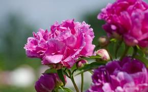 Картинка лепестки, цветение, пионы
