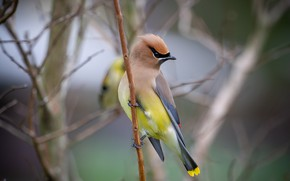 Картинка ветки, природа, птица, свиристель