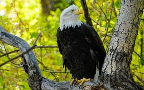 Картинка осень, ветки, дерево, птица, орел, листва, белоголовый орлан