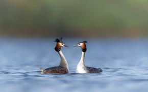 Картинка вода, птицы, природа, река, фон, пара, боке, чомга, гагары