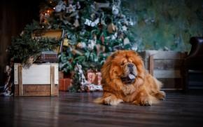 Картинка елка, собака, Рождество, Новый год, чау-чау
