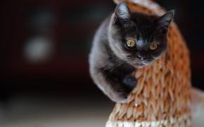 Картинка кошка, взгляд, темный фон, котенок, серый, мордашка, британский, когтеточка, зацепился