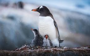 Картинка снег, камень, пингвины, птенцы, Antarctic Penguins