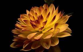 Картинка цветок, тёмный фон, георгин