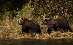 Обои осень, трава, взгляд, река, берег, листва, медведи, пара, прогулка, парочка, мишки, два, водоем, бурые, два ...