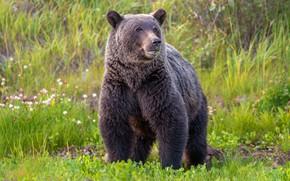Картинка зелень, лето, трава, взгляд, морда, природа, поза, поляна, медведь, мишка, бурый, травоядное, жуется