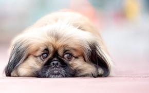 Картинка взгляд, собака, мордочка, боке, пекинес