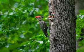 Картинка природа, дерево, птица, дятел, птенцы, дупло