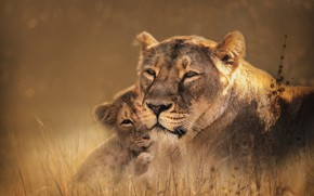 Картинка трава, взгляд, морда, природа, портрет, малыш, пара, львы, львица, мама, львенок, львёнок, боке