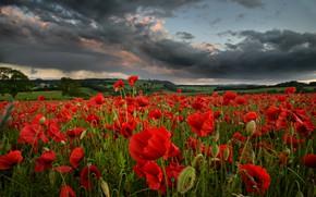 Картинка поле, лето, небо, облака, цветы, тучи, маки, вечер, луг, красные, много, хмурое, маковое поле
