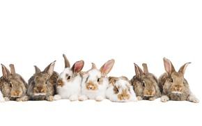Картинка кролики, пушистые, ушки