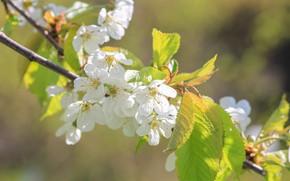 Картинка свет, цветы, вишня, ветка, весна, сакура, белые, цветение