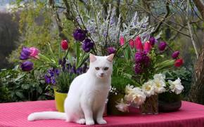 Картинка кошка, белый, кот, взгляд, цветы, ветки, природа, поза, стол, розовая, весна, сад, фиолетовые, тюльпаны, розовые, …