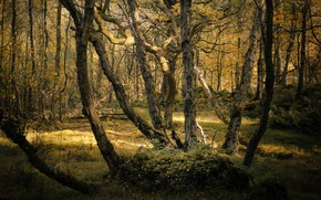 Картинка осень, лес, свет, деревья, ветки, стволы, кривые