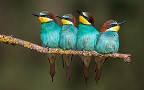 Картинка птицы, ветка, щурка золотистая, щурки, щурка