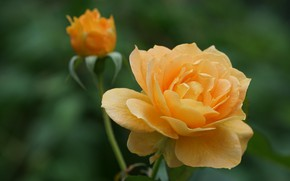 Картинка фон, роза, лепестки, бутон, жёлтая