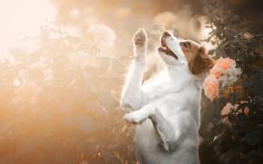 Картинка цветы, розы, собака, лапы, стойка