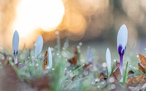 Картинка капли, свет, цветы, роса, сияние, поляна, весна, крокусы, белые, боке