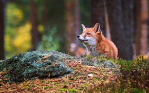 Картинка лес, взгляд, морда, фон, лиса, лисица