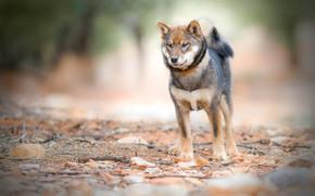 Обои взгляд, природа, камни, фон, собака, хвост, ошейник, молодой, пёсик, сиба-ину