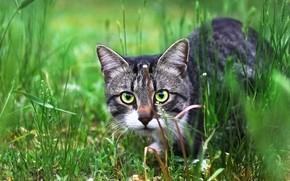 Картинка кот, взгляд, травка, котейка