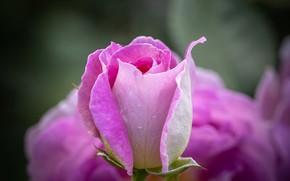 Картинка макро, розовый, роза, бутон
