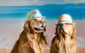 Картинка собаки, фон, пара, шляпы