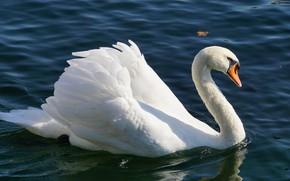 Картинка белый, вода, свет, пруд, птица, лебедь, водоем, плавание