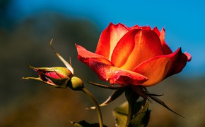Картинка цветок, капли, роза, бутон, красная, голубой фон