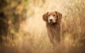 Картинка осень, трава, взгляд, морда, природа, собака, рыжий, щенок, рыжая, лабрадор, золотистый, коричневая, боке, ретривер, подросток