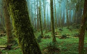 Картинка лес, деревья, природа, туман, папоротник