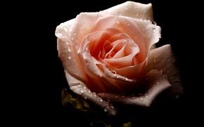 Картинка капли, роса, роза, чёрный фон